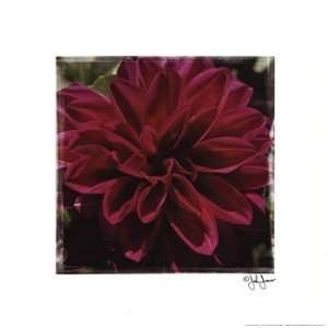 Dahlia Delight Poster by John Jones (12.00 x 12.00)